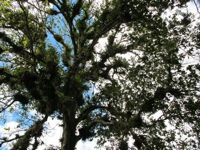 tree of bromeliads