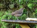 claycoloredrobinnationalbird copy.jpg
