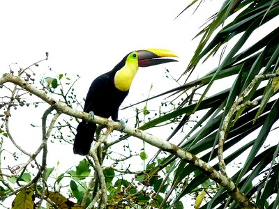 toucan-chestnutmandibled copy.jpg
