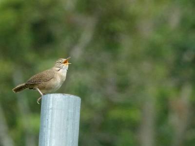birdsinging.jpg