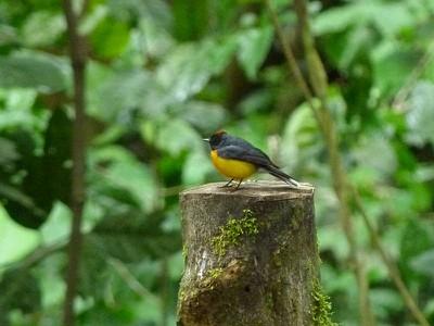 yellowbreastbird.jpg