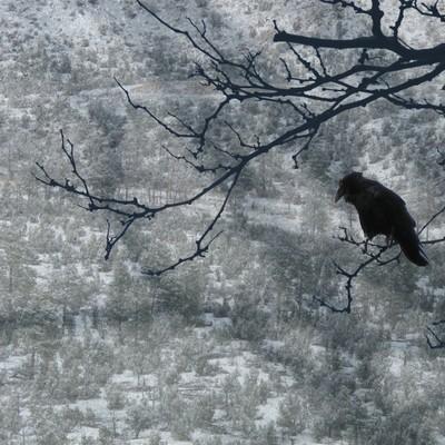 Snow Tree Crow