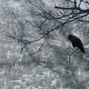 Snow Tree Crow