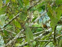 Cherrie's Tanager - female and baby