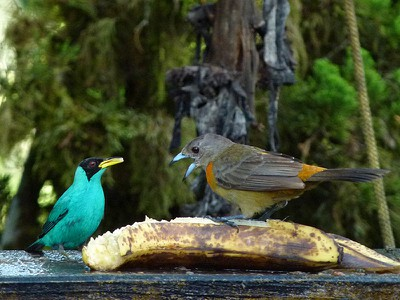 Green Honeycreeper-male / Cherrie's Tanager-female