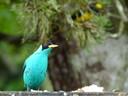 Green Honeycreeper - male