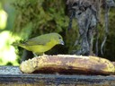 Hepatic Tanager - female