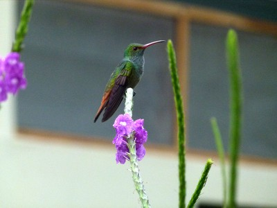 Hummingbird - Rufous tailed
