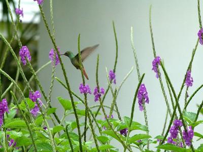 Hummingbird - Violetcapped-male
