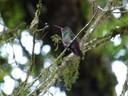 Hummingbird - Sapphire throated