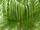 Drooping Palm
