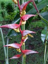 Heliconia Red