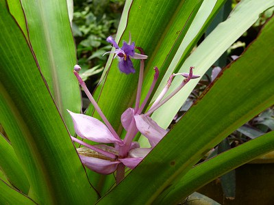 Purple Bromeliad