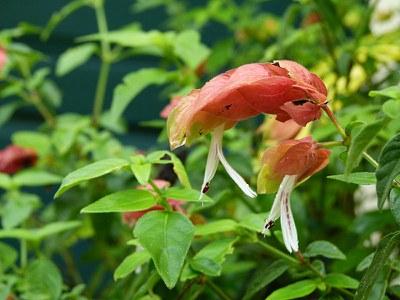 Shrimp Plant