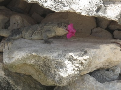 Iguana eating a flower