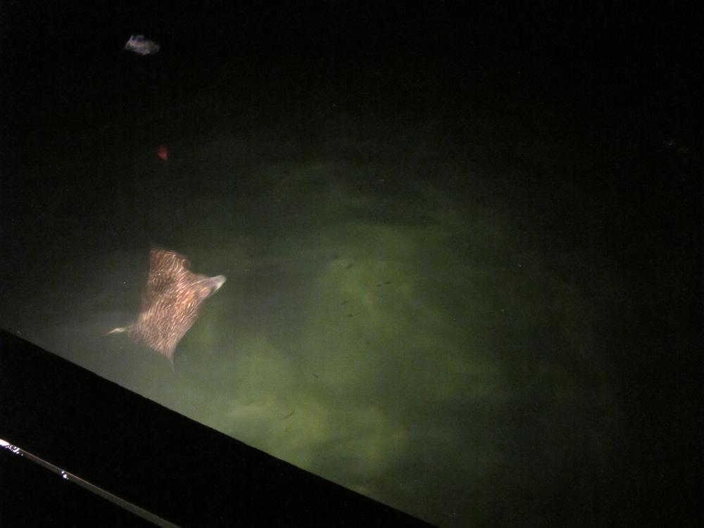 A Manta Ray circles lazily under the dock at night