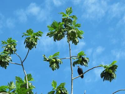 Turkey Vulture in the Breadfruit tree