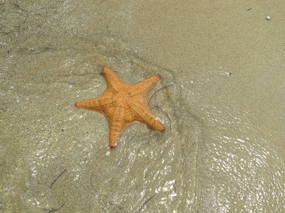 Starfish at Starfish Beach