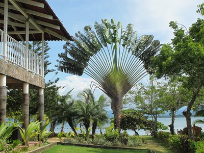 Traveler Palm which is related to the Haliconia family, not the Palm family